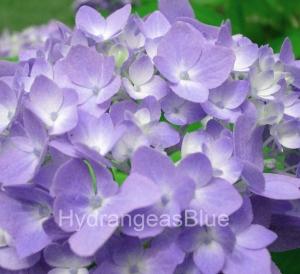 purple hydrangea flowers