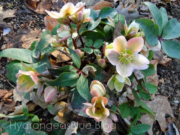 blooming lenton rose