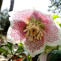 Pictures of the Lenton Rose