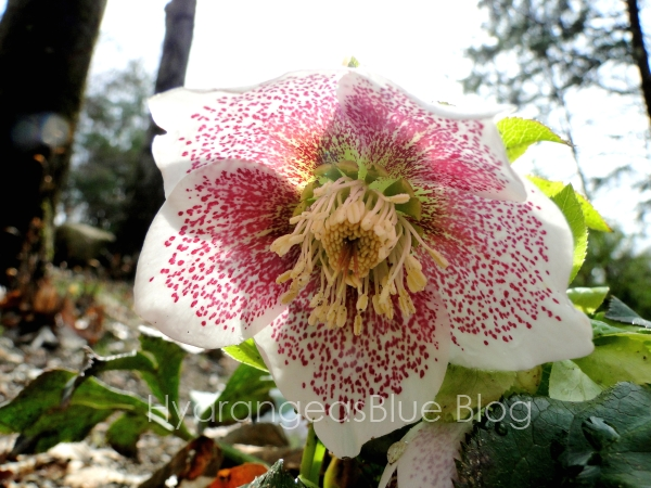 single lenton rose flower