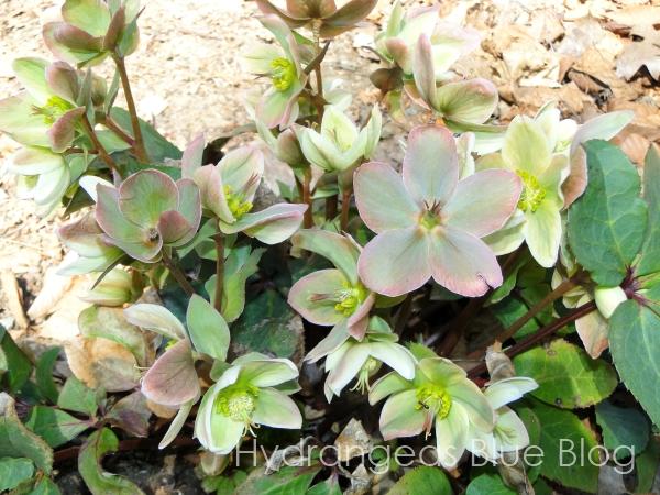 lenton rose green flowers