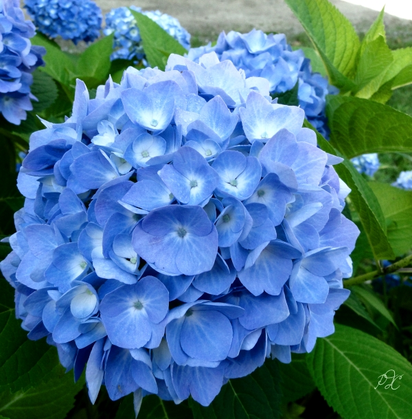 blue hydrangea 100