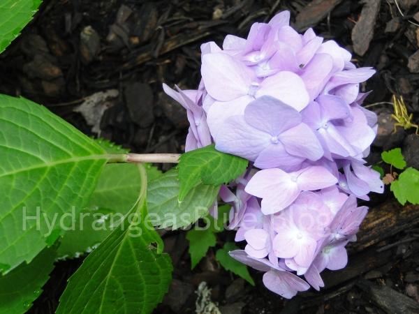lavender hydrangea flower