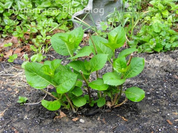 propagated hydrangea plant