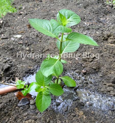 baby hydrangea bush