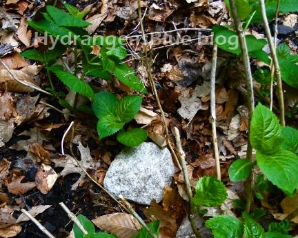 rooting hydrangeas