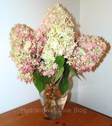 Limelight hydrangea flowers fall