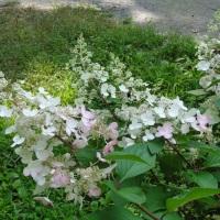 Pinky Winky Blooming Timeline
