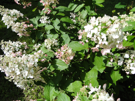 white flowers with pink