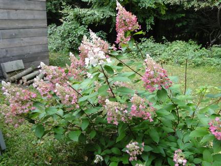 pink hydrangea paniculata