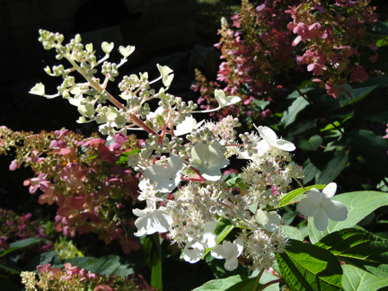 hydrangea flowers white pink