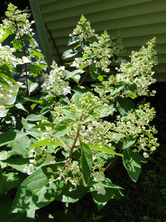 budding hydrangea shrub