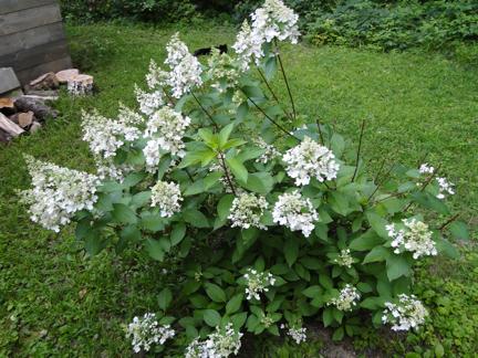white flowers hydrangea