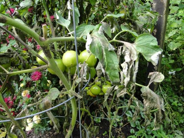 tomato blight picture