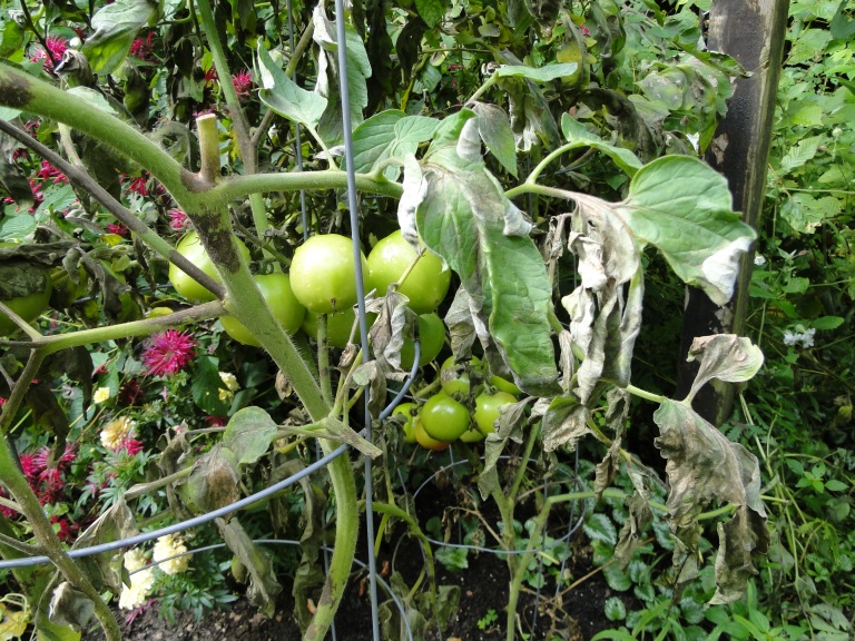 tomato blight picture
