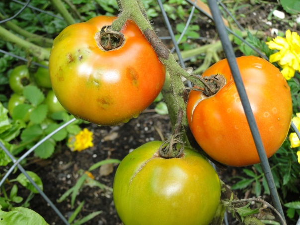 ripening tomatoes vine blight