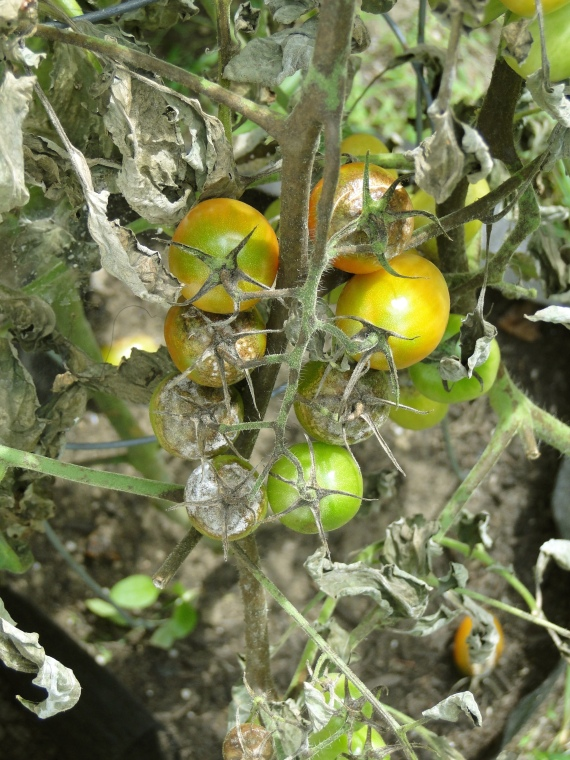 grape tomato plant with blight