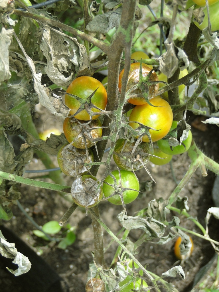 grape tomato plant with blight