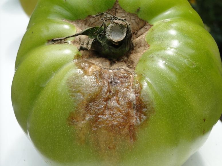 brown spot on tomato
