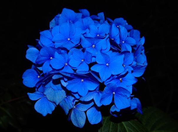 dark blue floral bloom hydrangea