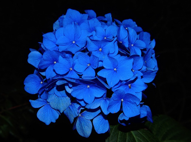 dark blue floral bloom hydrangea