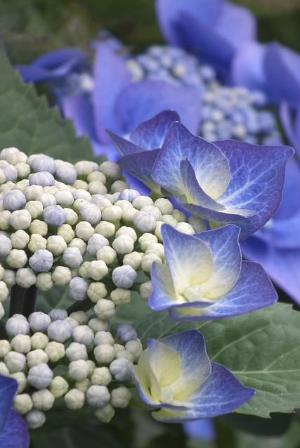 macro flower blue