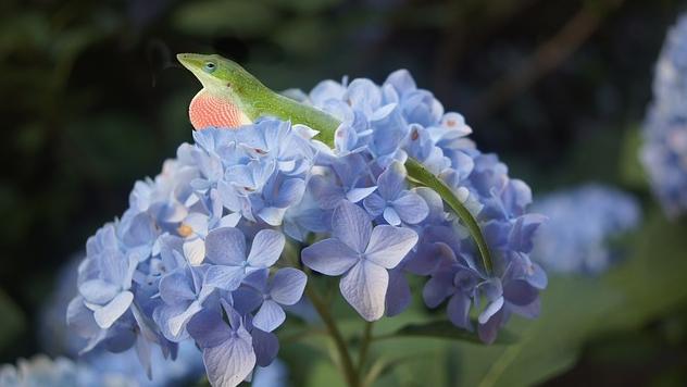 lizard flower hydrangea blue