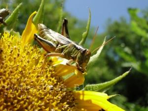 grasshopper eating a sunflower