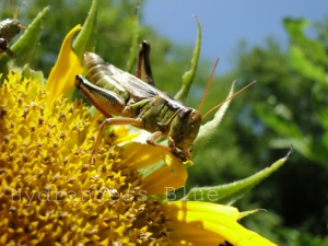 grasshopper eating a sunflower