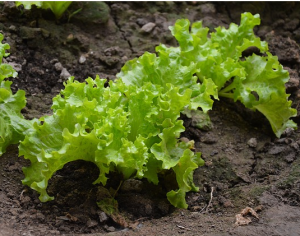 lettuce growing garden
