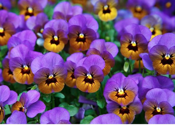 purple and orange pansies