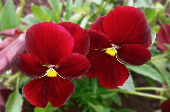 pansy red pansies