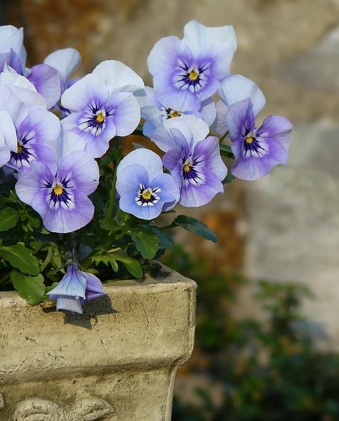 lavender blue violet pansy