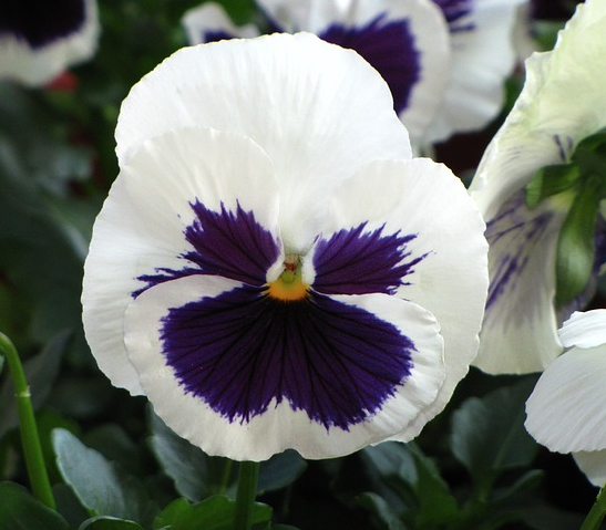 white purple pansy flower