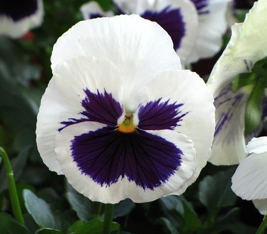 white purple pansy flower