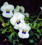 pictures of pansies white