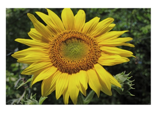 yellow sunflower poster