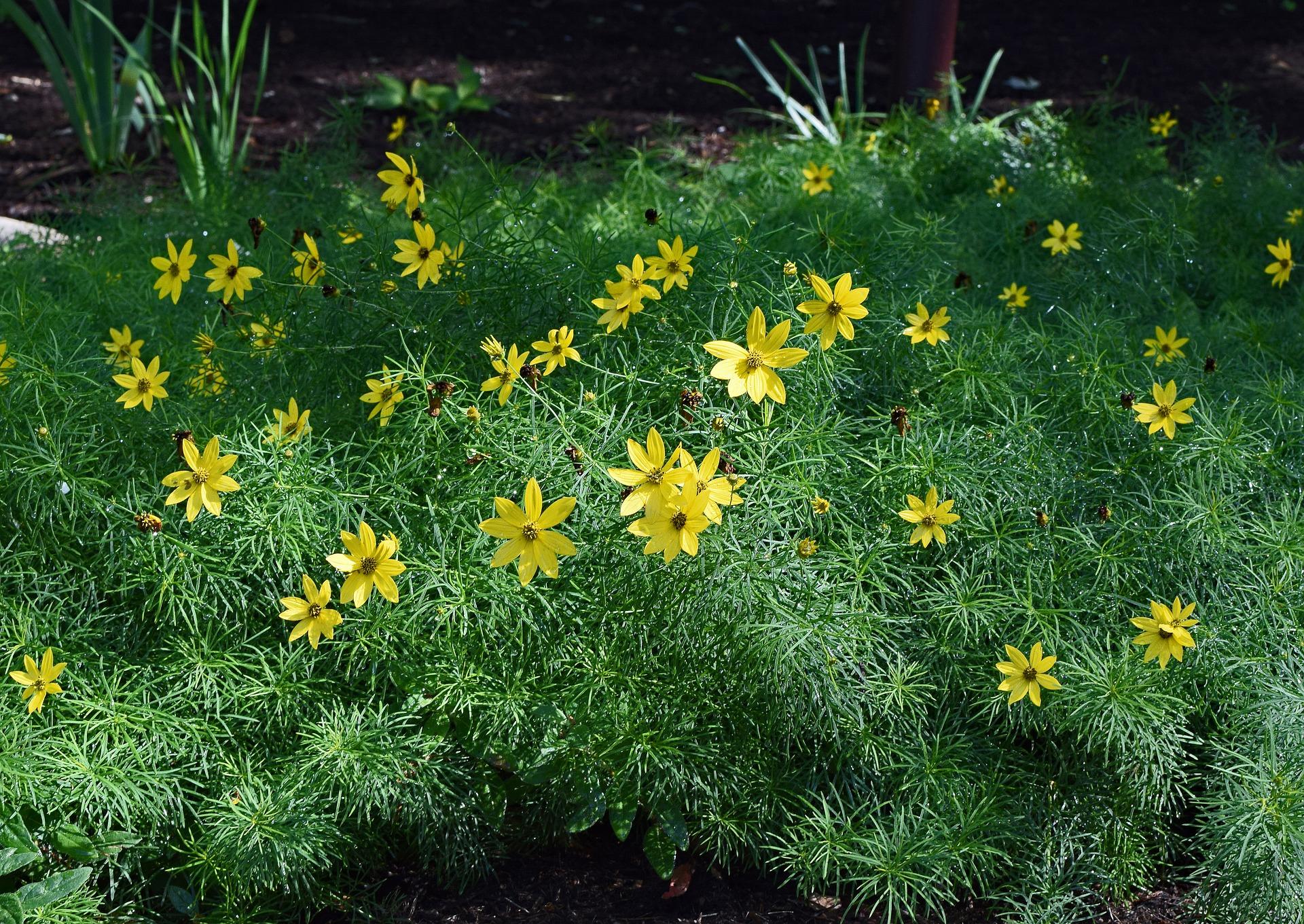Yellow flowering coreopsis