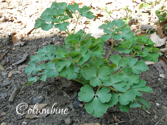ID Columbine plant in spring