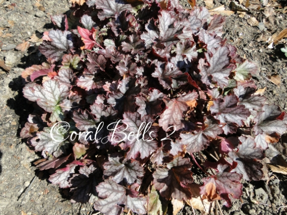 ID coral bells2