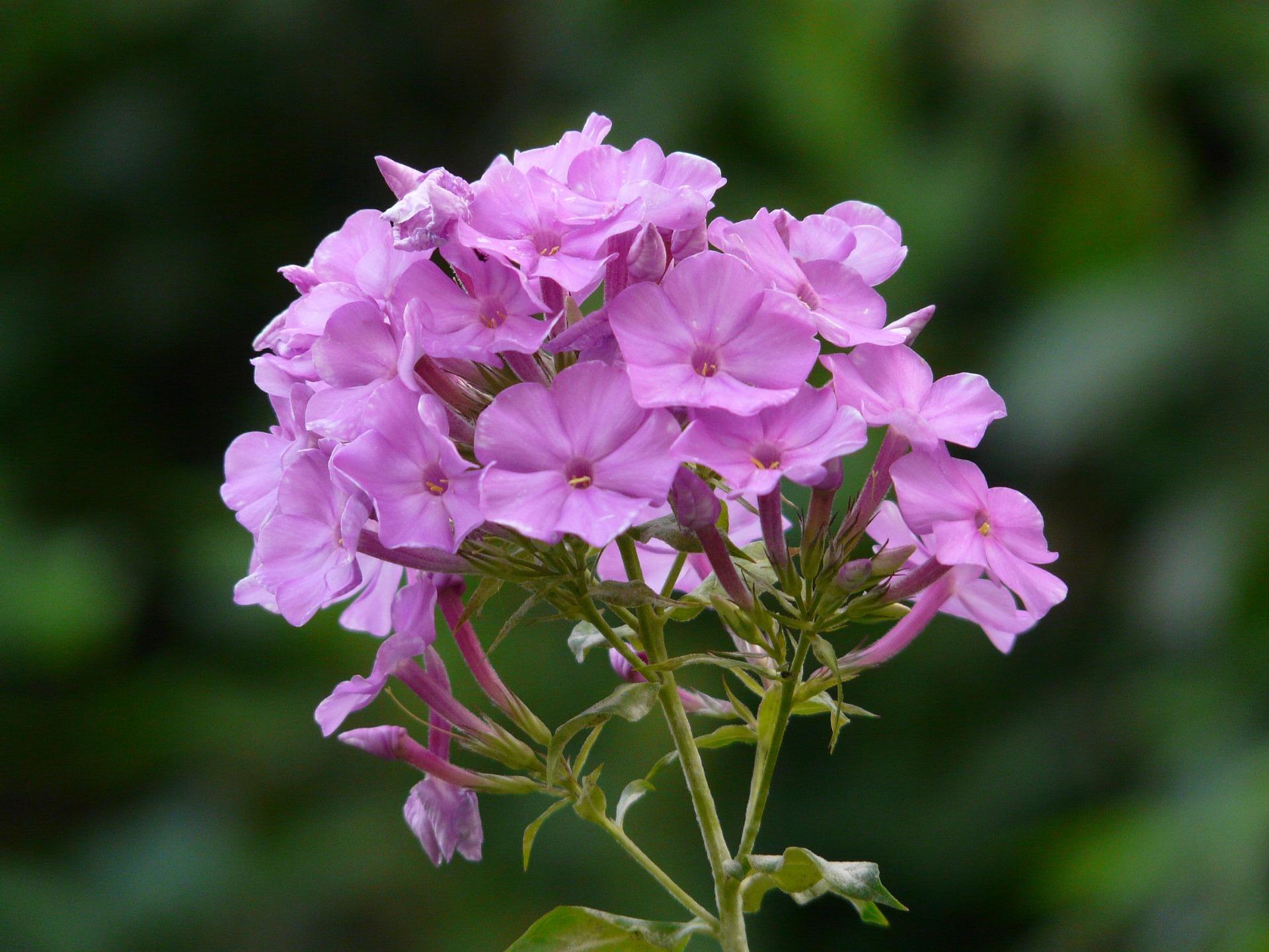 Pink purple tall phlox flower