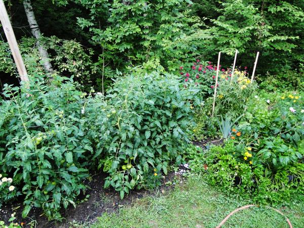 tomato bushes
