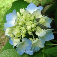 Summer Blue Flowers on the Hydrangea