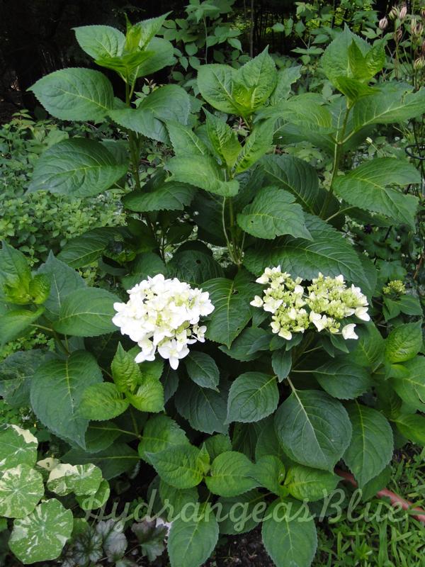 white hydrangea shrub