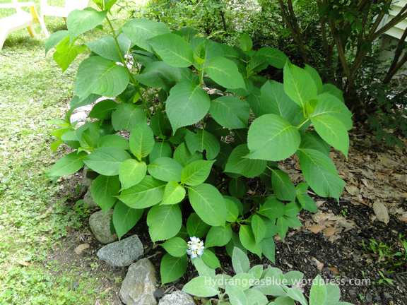 blue flowering hydrangea plant