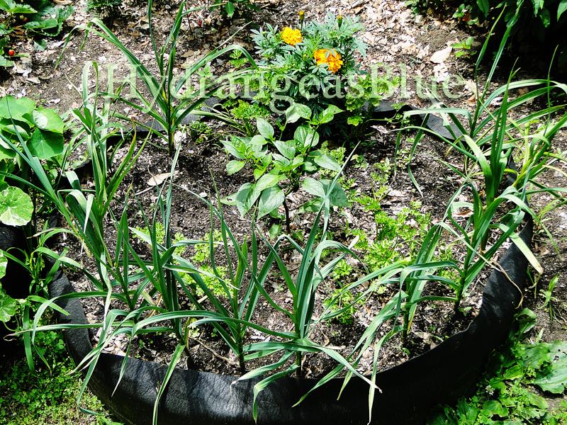 growing garlic in summer