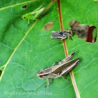 Organic Control of Grasshoppers in the Garden