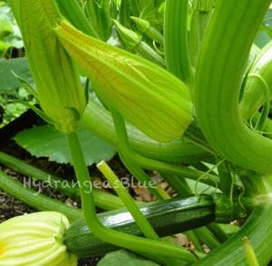 zucchini in the garden