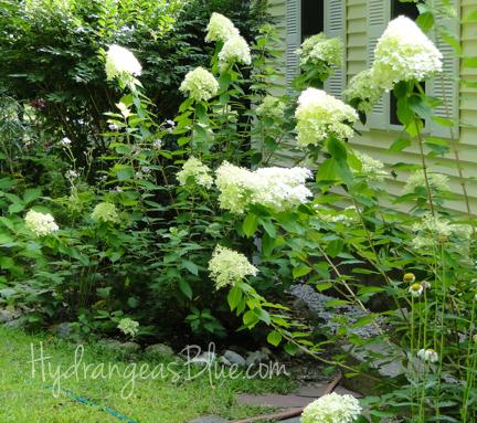 flowering limelight hydrangea