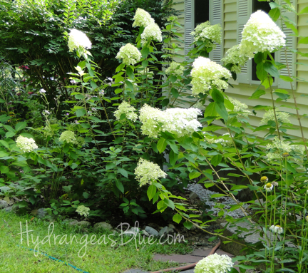 flowering limelight hydrangea